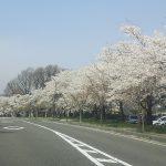 今朝の諏訪湖の桜です