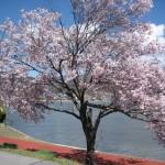 諏訪湖畔、桜が咲きました~