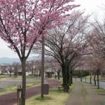 桜、今週末まで散らないでネ!!