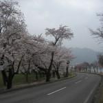 桜、満開!諏訪湖畔。